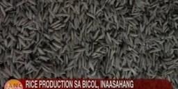 Rice production sa Bicol, inaasahang mapapabilis sa tulong ng rice processing plant